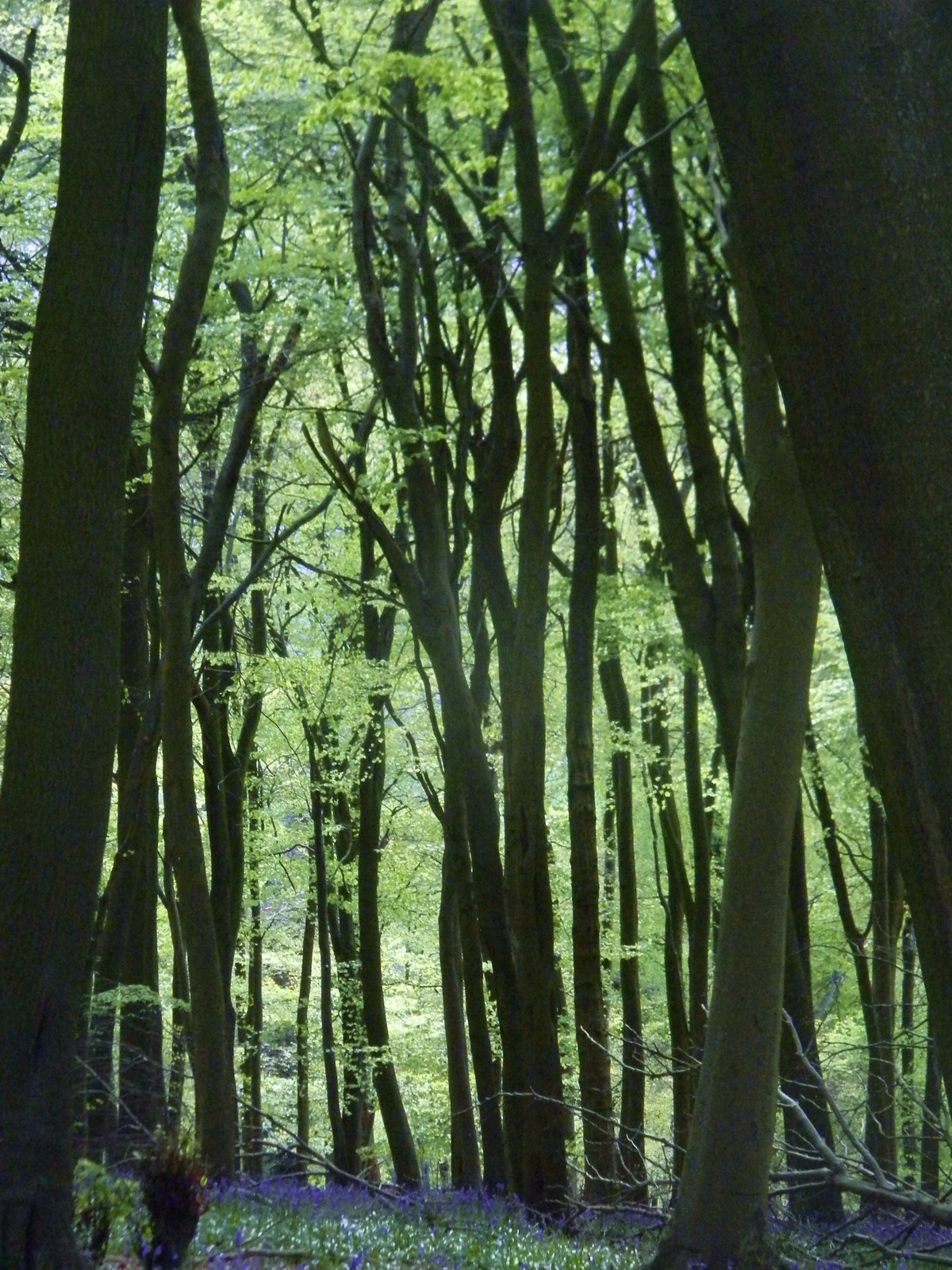 Tree trunks, green leaves, touch of blue Tring to Berkhamsted just after Brownlow
