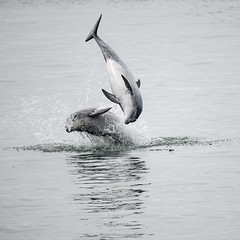 What's Better Than One Leaping Dolphin - Two Leaping Dolphins