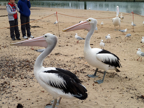 San Remo Pelicans BeeIng 01