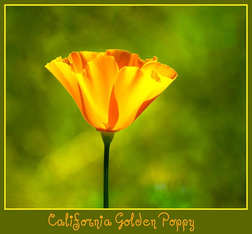 California State Flower - The Golden Poppy - D2X-3-31-11_4255