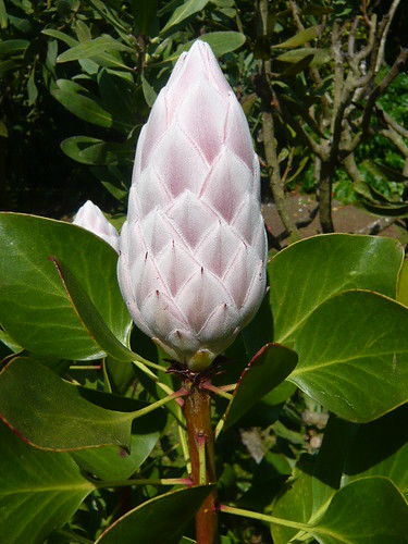 Madiera Protea