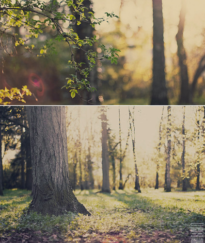 wood trees sunset sunlight green field grass yellow backlight forest sunrise canon germany bayern deutschland bavaria 50mm diptych dof bokeh magic 14 fairy dreamy usm fairies leafs magical depth creamy ingolstadt eos550d