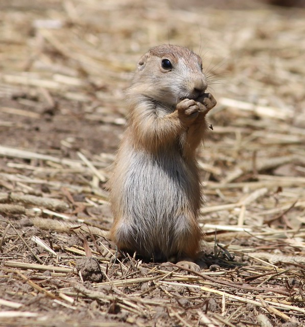Baby Prairie Dog | Flickr - Photo Sharing!