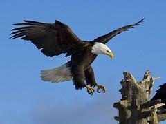 falcon(0.0), kite(0.0), animal(1.0), bird of prey(1.0), eagle(1.0), wing(1.0), fauna(1.0), bald eagle(1.0), accipitriformes(1.0), beak(1.0), bird(1.0),