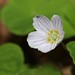 Small photo of Wood-sorrel (Oxalis acetosella)