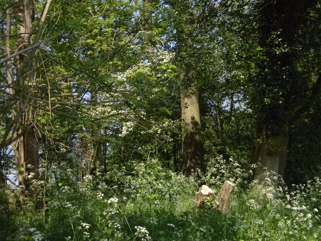 Cow parsley Staplehurst to Headcorn