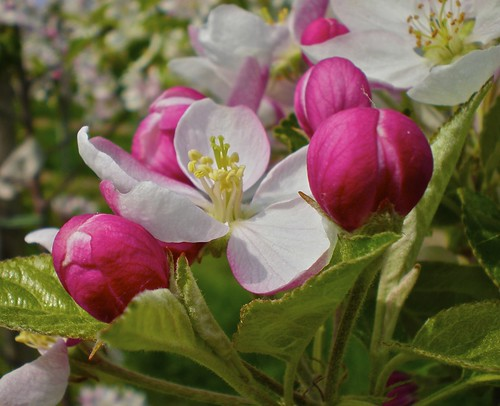 Appelbloesem . . . Apple Blossom