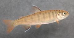 Salmon Coho fry (Credit: Paul Kaiser/USFWS )