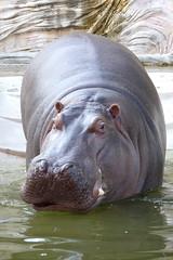 Hippopotamus - 16