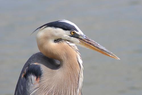 wild heron birds florida lakeland greatblueheron lakemorton gbh