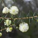 Small photo of Acacia ulicifolia
