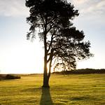 Pine-Light