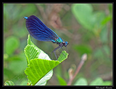 Calopteryx vierge (Calopteryx virgo) - Photo of Saint-Sylvain