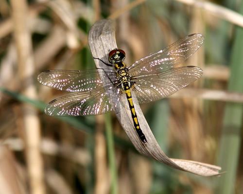 nature outdoors dragonfly wildlife odonata canonef300mmf4lisusm canonefextender14xii canoneosrebelxsi