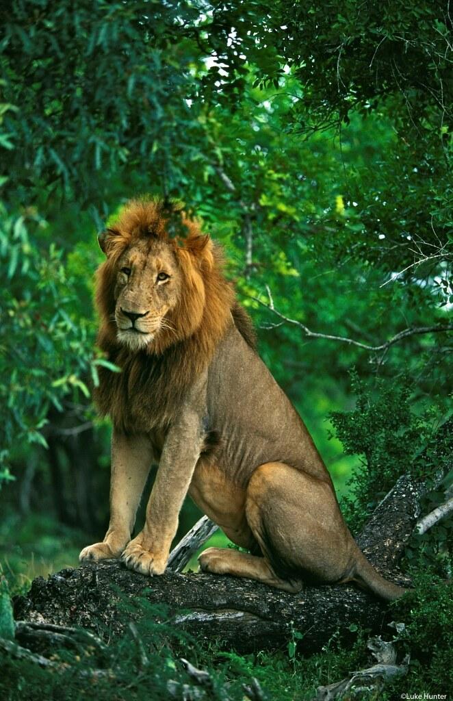 Lion sitting - photo#8