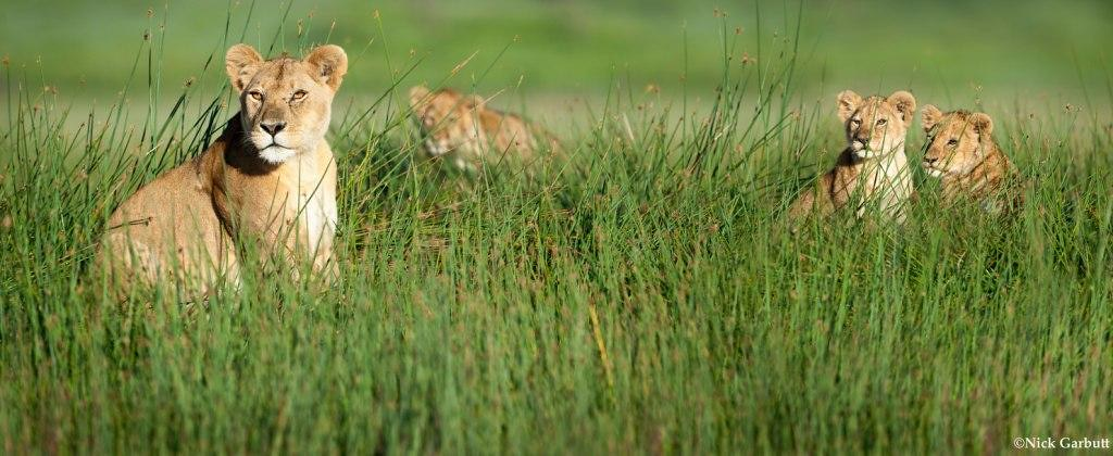 During the month of May, Panthera launched its 'Let Lions Live' campaign to raise $30,000 for the fewer than30,000 lions that remain in the wild. Due to the incredible support of Panthera's community, this goal was reached before the end of the campaign.  Learn more about this campaign and what you can do to help save Africa's most iconic big cat  at www.panthera.org/let-lions-live