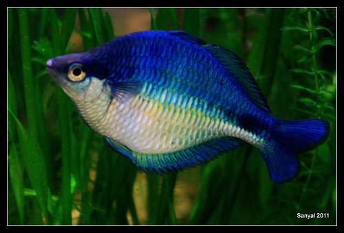 Turquoise Rainbow Fish Turquoise Rainbow