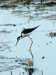 wetland, animal, fauna, stilt, shorebird, bird,