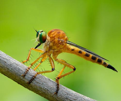 Asilidae Clephydroneura Becker