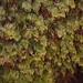 Hymenophyllum lanceolatum