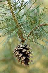 larch, evergreen, flower, branch, leaf, tree, plant, macro photography, flora, close-up, conifer cone, spruce, twig,