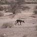 Small photo of GIla Coyote