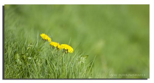 green grass yellow weed dof cheshire canon300d sale dandelion vicki burrows digitalcameraclub platinumphoto elitephotography thisphotorocks hairygitselite absolutelyperrrfect merseycanal adobephotoshopcs5 ringofexcellence vicki127 imagesofart