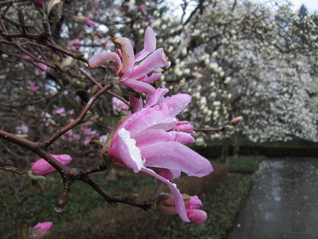 Magnolia x loebneri 'Leonard Messel' in bloom on Magnolia Plaza. Photo by Rebecca Bullene.