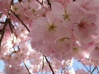 Cherry Blossoms - again -