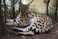 recreation(0.0), outdoor recreation(0.0), jaguar(0.0), cat(0.0), ocelot(0.0), animal(1.0), leopard(1.0), small to medium-sized cats(1.0), mammal(1.0), fauna(1.0), wildlife(1.0),