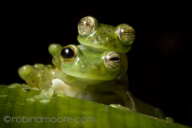 Emeral glass frogs, Espadarana prosoblepon