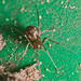 Steatoda sp.?