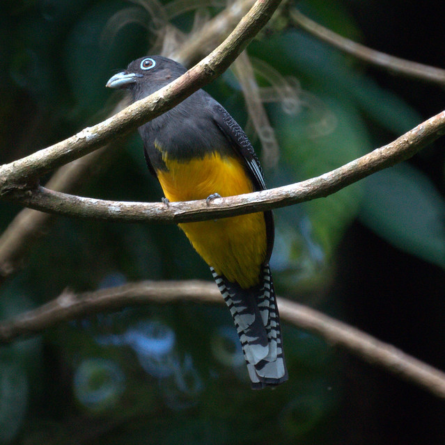 Header of Amazonian White-Tailed Trogon