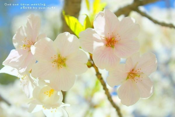 Sakura 5 2011
