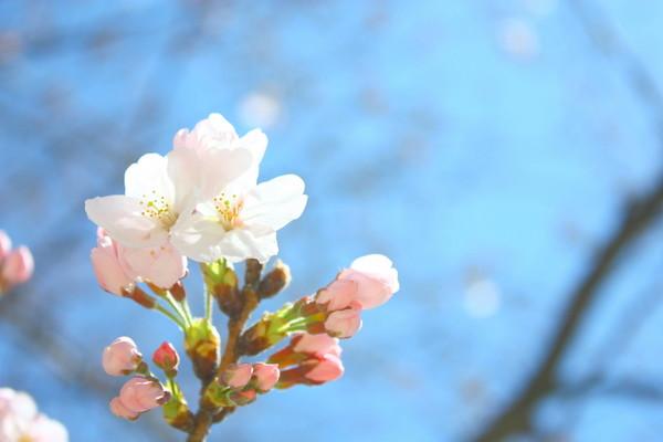Sakura 15 2011