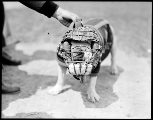 Jiggs II, bulldog given to marines by Gene Tunney, in catcher's mask