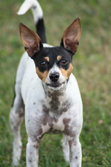 danish swedish farmdog(0.0), german pinscher(0.0), brazilian terrier(0.0), russell terrier(0.0), dog breed(1.0), animal(1.0), dog(1.0), miniature fox terrier(1.0), toy fox terrier(1.0), english toy terrier(1.0), rat terrier(1.0), carnivoran(1.0), terrier(1.0),