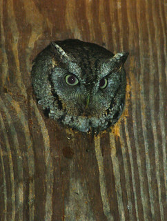 Eastern Screech Owl (female)