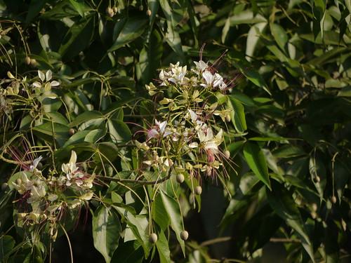 capparaceae crateva cratevaadansonii