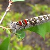 American Lappet Moth Caterpillar