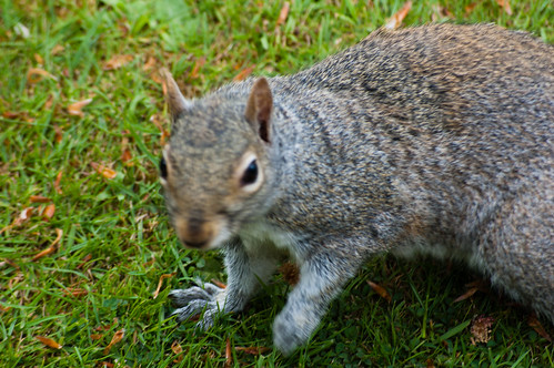 Close approach from a West Park squirrel