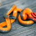 Pacific Ringneck Snake - Photo (c) Catherine Yasuda, all rights reserved