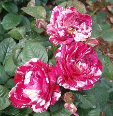 chinese hibiscus(0.0), rosa chinensis(0.0), rosa rugosa(0.0), hibiscus(0.0), rosa wichuraiana(1.0), annual plant(1.0), shrub(1.0), garden roses(1.0), rosa 㗠centifolia(1.0), floribunda(1.0), flower(1.0), rosa gallica(1.0), plant(1.0), flora(1.0), peony(1.0), pink(1.0), petal(1.0),