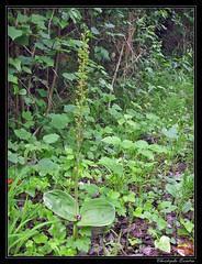 Listère à feuilles ovales (Listera ovata)
