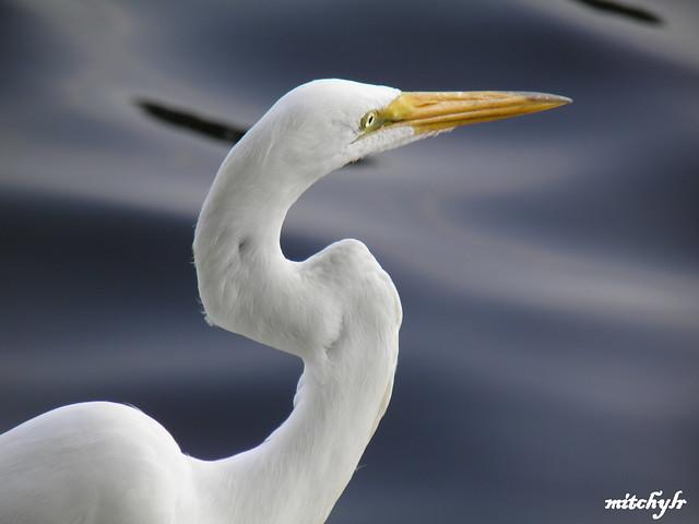 Great Egret 12