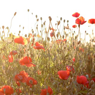 Poppy field - backlight