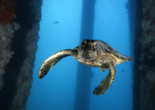 Green Sea Turtle | by NOAA's National Ocean Service