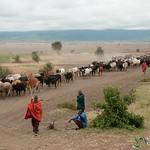 Masai Driving Cattle from Water - Arusha, Tanzania