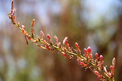 2011-06-26 Phoenix, Desert Botanical Garden 052