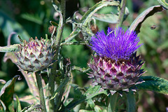 flower, thistle, plant, macro photography, wildflower, flora, silybum, artichoke thistle,